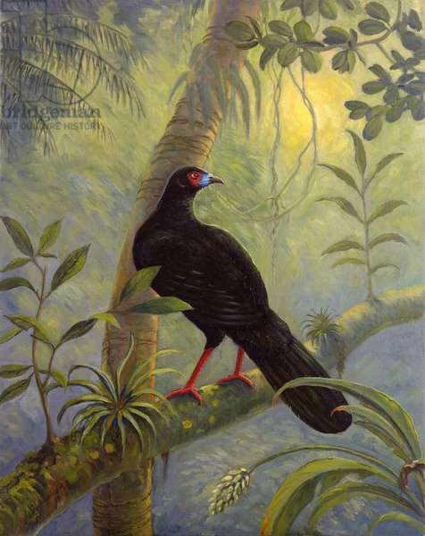 Black Sickle-winged Guan (Chamaepetes unicolour) (oil on canvas)