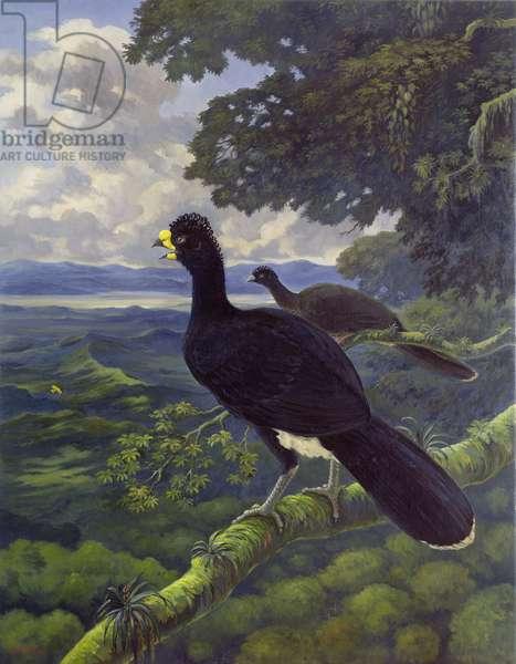 Daubenton's Curassow (Crax daubentoni) (oil on canvas)
