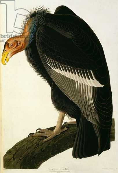 Gymnogyps californianus, Californian condor, Plate 426 from John James Audubon's Birds of America, original double elephant folio, 1827-30 (hand-coloured aquatint)