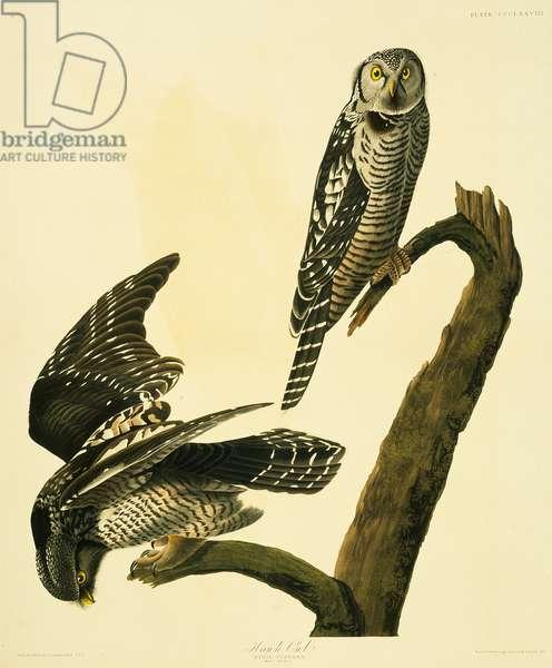 Surnia ulula, northern hawk-owl, Plate 378 from John James Audubon's Birds of America, original double elephant folio, 1827-30 (hand-coloured aquatint)