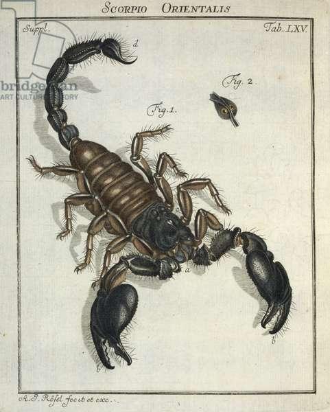 Scorpio orientalis