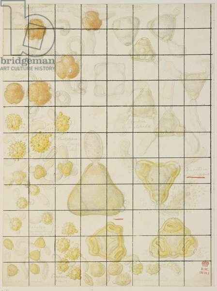 Pollen sketch by Francis Bauer