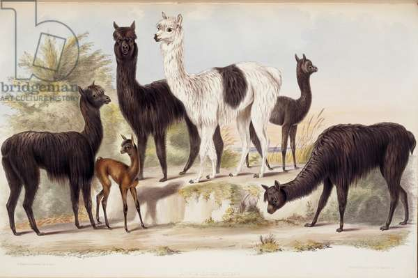 Alpacas, from Gleanings from the Menagerie and Aviary at Knowsley Hall: Hoofed Quadrupeds, by John Edward Gray, 1850 (hand-coloured litho)