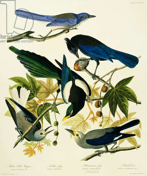 Pica nuttallii, Cyanocitta stelleri, Aphelocoma californica, Nucifraga columbiana, Plate 362 from John James Audubon's Birds of America, original double elephant folio, 1827-30 (hand-coloured aquatint)