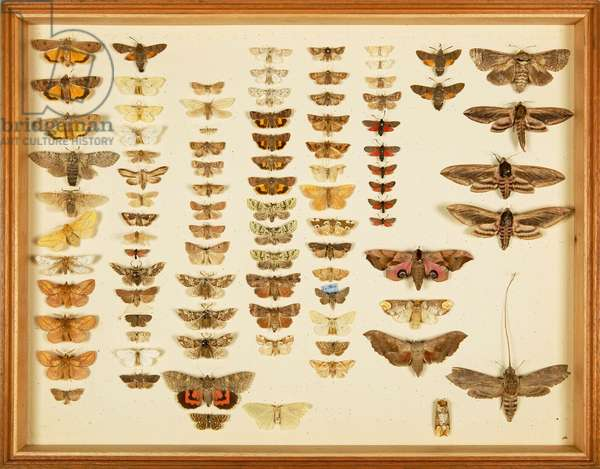 Entomological Specimens from the Wallace Collection