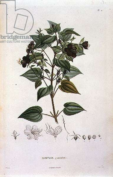 Rhexia grandiflora, engraved by Bouquet, plate 11 from Part VI of 'Voyage to Equinoctial Regions of the New Continent' by Friedrich Alexander, Baron von Humboldt (1769-1859) and Aime Bonpland (1773-1858) pub. 1806 (print)