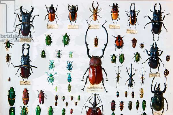 Beetle specimens from the Wallace collection