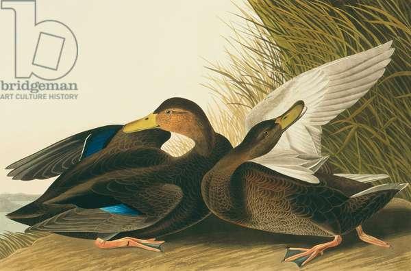 Anas rubripes, American black duck, Plate 302 from John James Audubon's Birds of America, original double elephant folio, 1827-30 (hand-coloured aquatint)