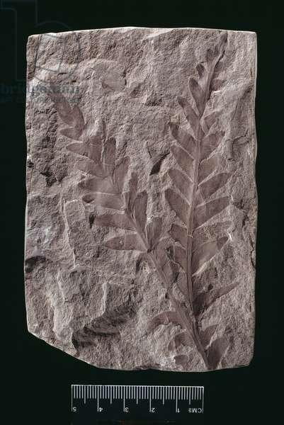 Dicroidium sp. (photo)
