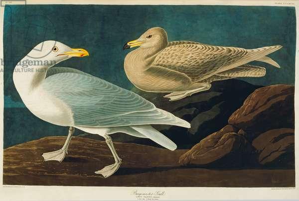 Larus hyperboreus, glaucous gull, Plate 396 from John James Audubon's Birds of America, original double elephant folio, 1827-30 (hand-coloured aquatint)