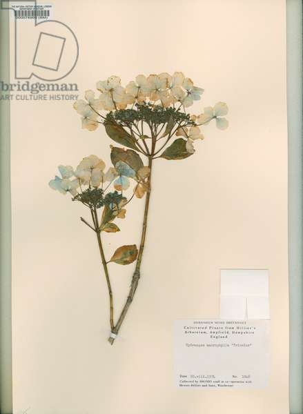 Hydranges macrophylla 'Tricolor'