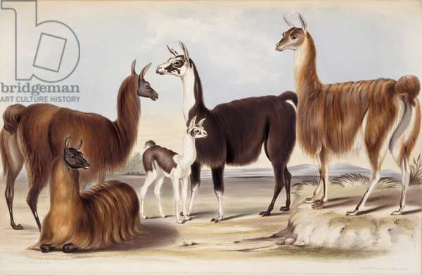 Lama glama, from Gleanings from the Menagerie and Aviary at Knowsley Hall: Hoofed Quadrupeds, by John Edward Gray, 1850 (hand-coloured litho)