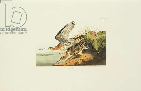 Bartramia longicauda, upland sandpiper, Plate 303 from John James Audubon's Birds of America, original double elephant folio, 1827-30 (hand-coloured aquatint)