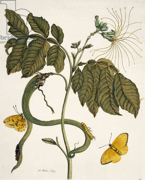 Illustration from 'Insects of Surinam', 1726 (hand-coloured engraving)
