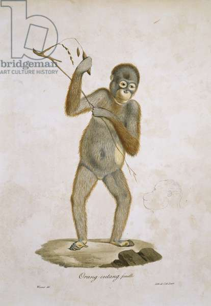 Orang-outang, plate 241 from Histoire Naturelle des Mammifères, avec des figures originales, Vol. 1, by Étienne Geoffroy Saint-Hilaire & Baron Georges L. C. Frédéric D. Cuvier, 1819-42 (colour litho)