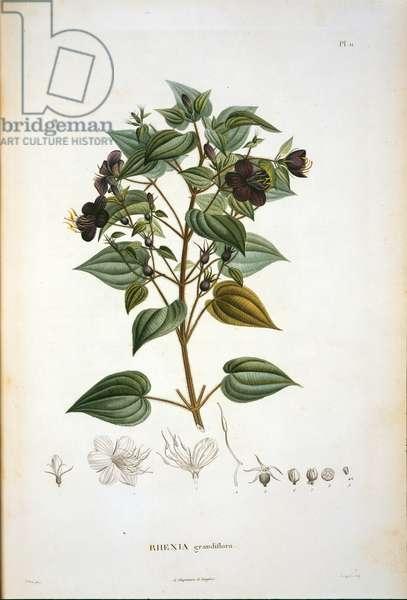 Rhexia grandiflora