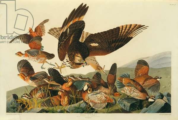 Colinus viginianus, Northern Bobwhite, with Buteo lineatus, Red-Shouldered Hawk, Plate 76 from John James Audubon's Birds of America, original double elephant folio, 1827-30 (hand-coloured aquatint)