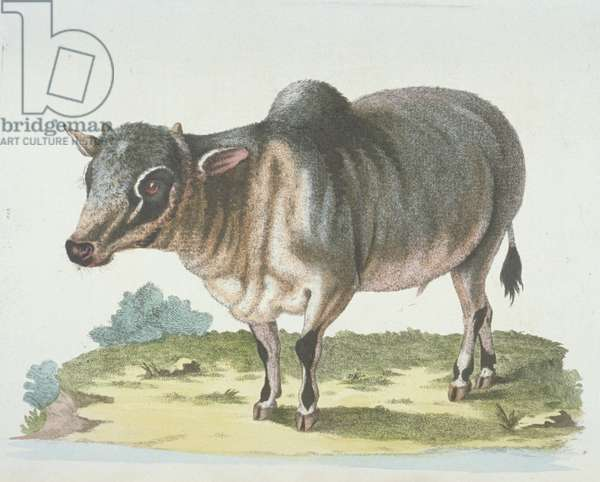 Bison bonasus, European bison, from Gleanings of Natural History by George Edwards, 1758-74 (coloured engraving)