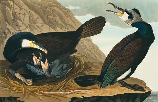 Phalacrocorax carbo, great cormorant, Plate 266 from John James Audubon's Birds of America, original double elephant folio, 1827-30 (hand-coloured aquatint)