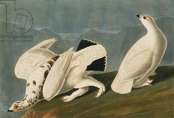 Lagopus muta, rock ptarmigan, Lagopus leucura, white-tailed ptarmigan, Plate 418 from John James Audubon's Birds of America, original double elephant folio, 1827-30 (hand-coloured aquatint)