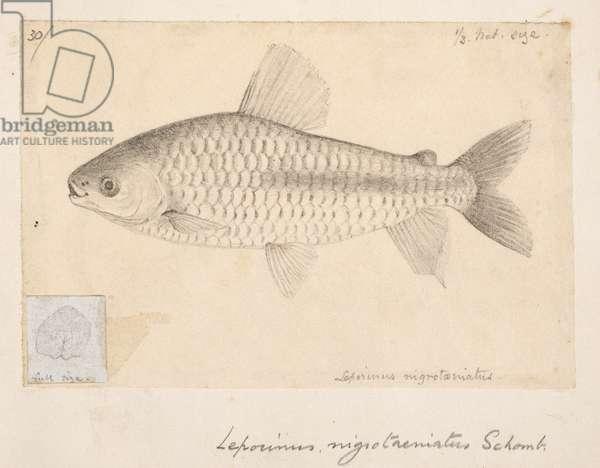 Chalceus nigrotaeniatus