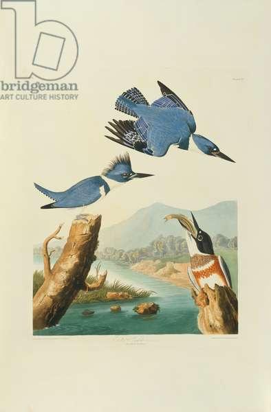 Megaceryle alcyon, Belted Kingfisher, Plate 77 from John James Audubon's Birds of America, original double elephant folio, 1827-30 (hand-coloured aquatint)