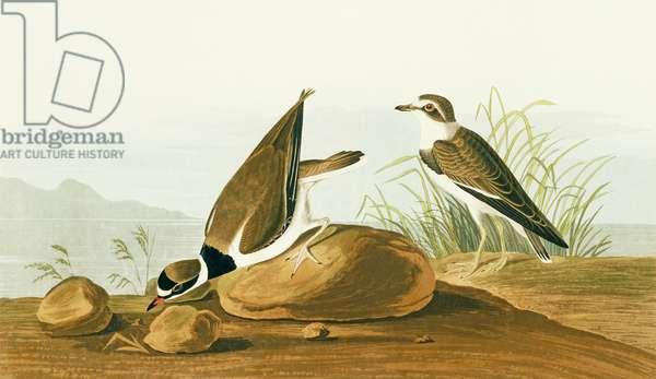 Charadrius semipalmatus, semipalmated plover, Plate 330 from John James Audubon's Birds of America, original double elephant folio, 1827-30 (hand-coloured aquatint)