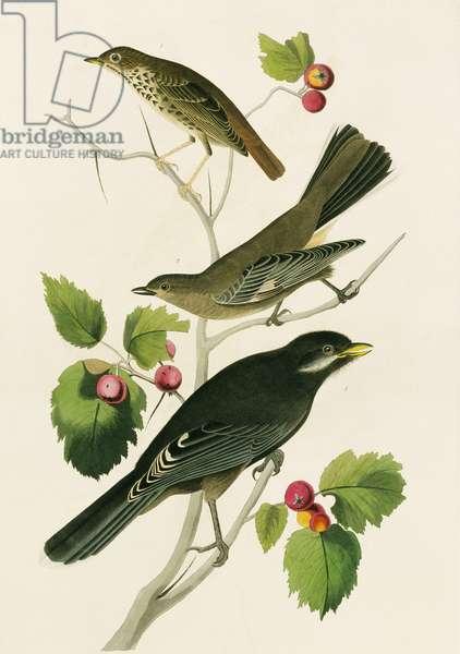 Perisorius canadensis, Catharus guttatus, Myadestes townsendi, Plate 419 from John James Audubon's Birds of America, original double elephant folio, 1827-30 (hand-coloured aquatint)