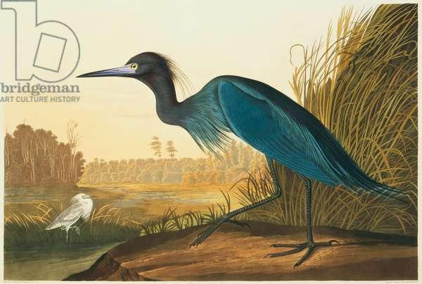 Egretta caerulea, little blue heron, Plate 307 from John James Audubon's Birds of America, original double elephant folio, 1827-30 (hand-coloured aquatint)