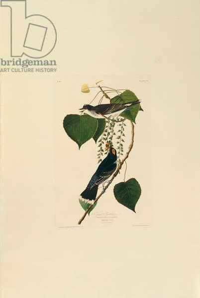 Tyrannus tyrannus, Eastern Kingbird, Plate 79 from John James Audubon's Birds of America, original double elephant folio, 1827-30 (hand-coloured aquatint)