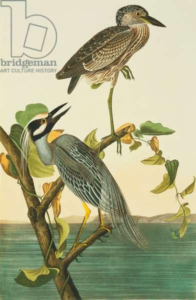 Nyctanassa violacea, yellow-crowned night heron, Plate 336 from John James Audubon's Birds of America, original double elephant folio, 1827-30 (hand-coloured aquatint)