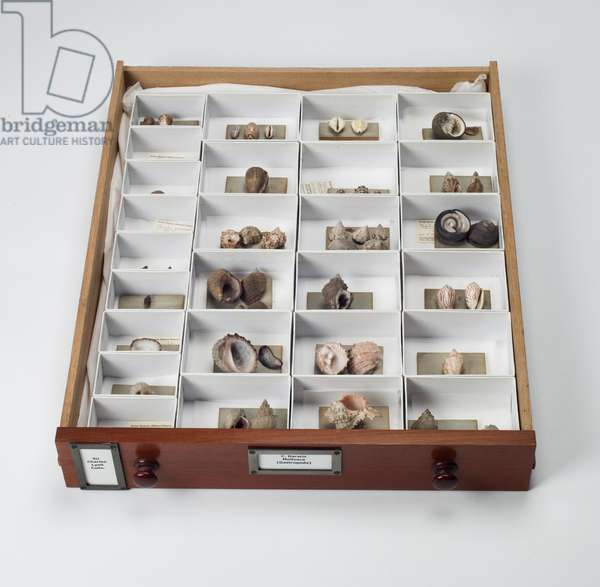Mollusc specimen drawer