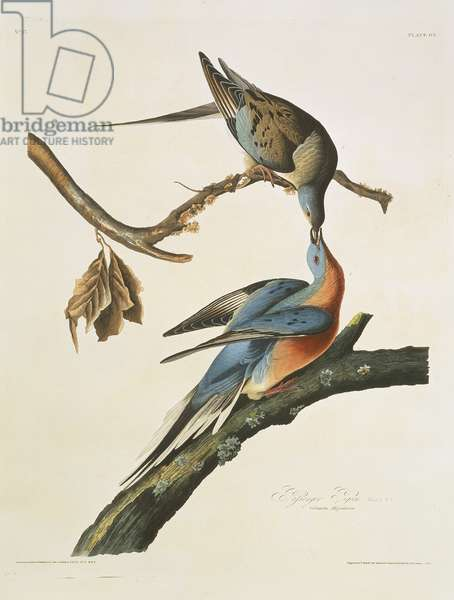 Ectopistes migratorius, passenger pigeon, Plate 62 from John James Audubon's Birds of America, original double elephant folio, 1827-30 (hand-coloured aquatint)