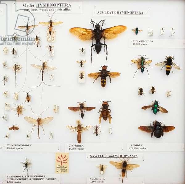 Hymenoptera specimens