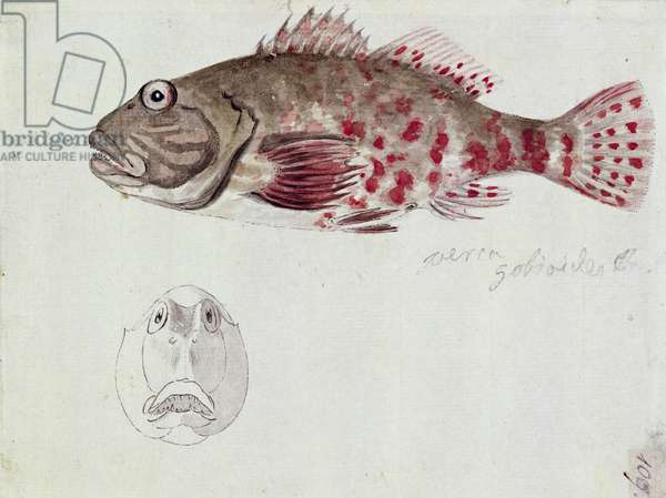 f.109 A Fish, painted while the artist was accompanying Captain James Cook on his third voyage, 1776-78 (w/c)