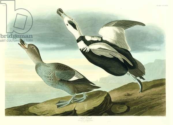 Camptorhynchus labradorius, Labrador duck, Plate 332 from John James Audubon's Birds of America, original double elephant folio, 1827-30 (hand-coloured aquatint)