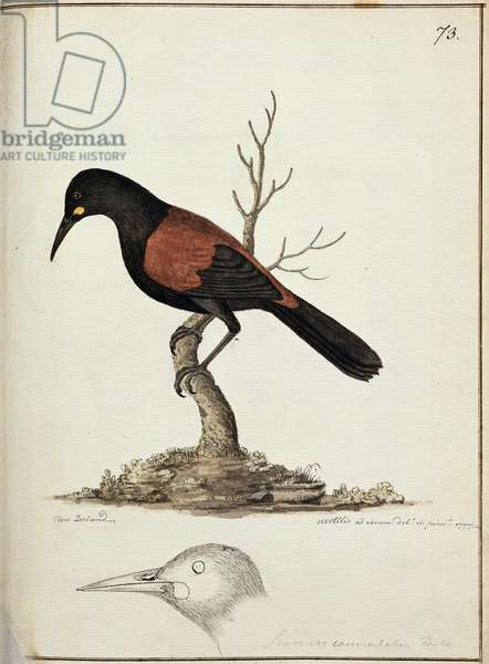 f.73 New Zealand Saddleback or Tieke (Creadion carunculatus) painted while the artist was accompanying Captain James Cook on his third voyage 1777 (w/c)