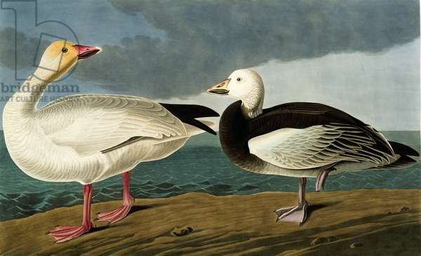 Anser caerulescens, snow goose, Plate 381 from John James Audubon's Birds of America, original double elephant folio, 1827-30 (hand-coloured aquatint)