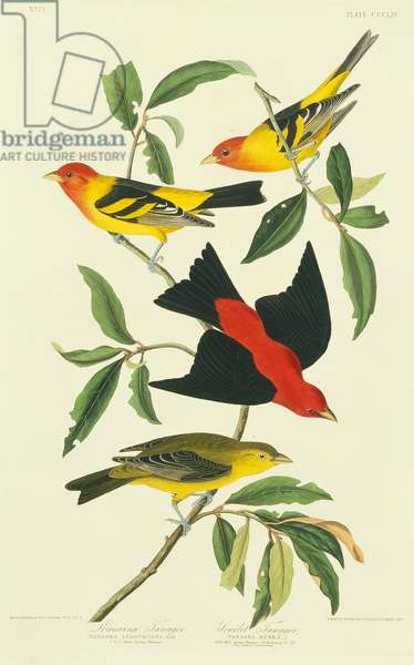 Piranga ludoviciana, western tanager, Piranga olivacea, scarlet tanager, Plate 354 from John James Audubon's Birds of America, original double elephant folio, 1827-30 (hand-coloured aquatint)