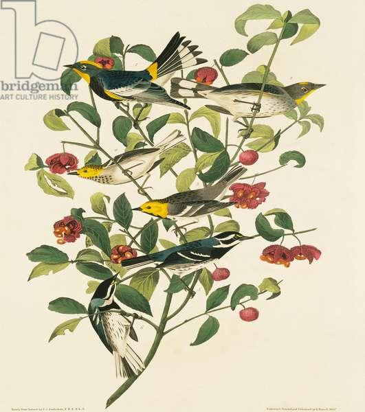 Dendroica nigrescens, Dendroica occidentalis, Dendroica coronata, Plate 395 from John James Audubon's Birds of America, original double elephant folio, 1827-30 (hand-coloured aquatint)