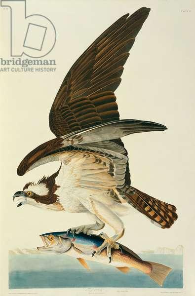 Pandion haliaetus, Osprey, Plate 81 from John James Audubon's Birds of America, original double elephant folio, 1827-30 (hand-coloured aquatint)