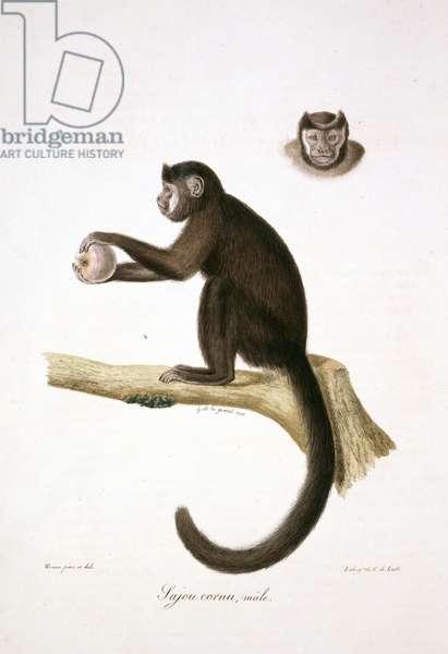 Le Sajou Brun, Male, plate 30 from Histoire Naturelle des Mammifères, avec des figures originales, Vol. 1, by Étienne Geoffroy Saint-Hilaire & Baron Georges L. C. Frédéric D. Cuvier, 1819-42 (colour litho)