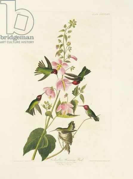 Calypte anna, Anna's hummingbird, Plate 425 from John James Audubon's Birds of America, original double elephant folio, 1827-30 (hand-coloured aquatint)