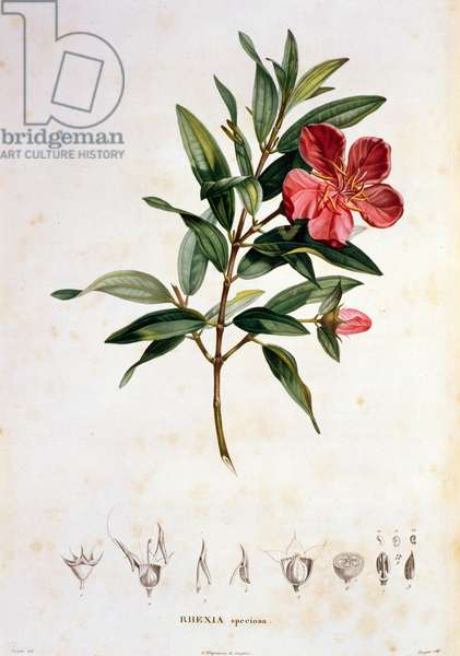 Rhexia speciosa, engraved by Bouquet, plate 4 from Part VI of 'Voyage to Equinoctial Regions of the New Continent' by Friedrich Alexander, Baron von Humboldt (1769-1859) and Aime Bonpland (1773-1858) pub. 1806 (print)