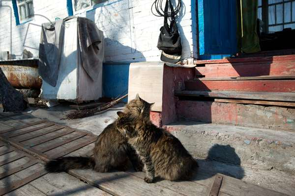 Cats in the yard of a building in Chernobyl, 2011 (photo)