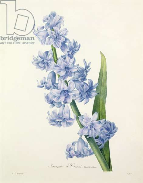 Hyacinthus orientalis (common hyacinth), engraved by Victor, from 'Choix des Plus Belles Fleurs', 1827 (coloured engraving)