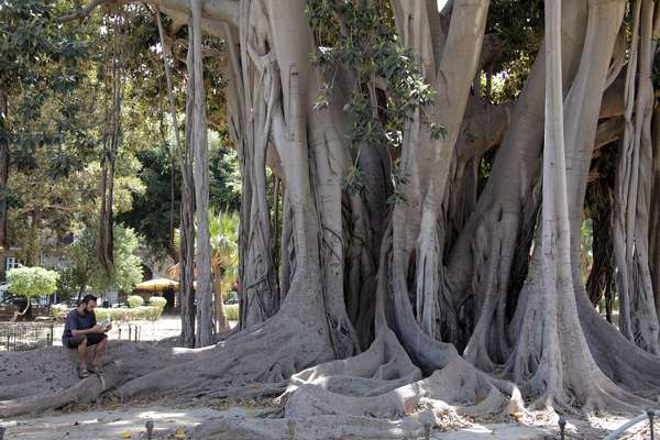 Banyan tree in Piazza Marina in Palermo Sicily