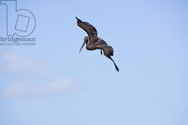 Pelican diving after fish in the shallows (photo)