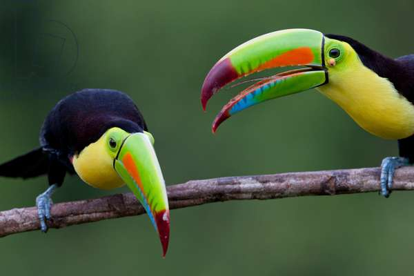 Keel-billed toucans (Ramphastos sulfuratus), near Boca Tapada, Costa Rica, January 2011 (photo)