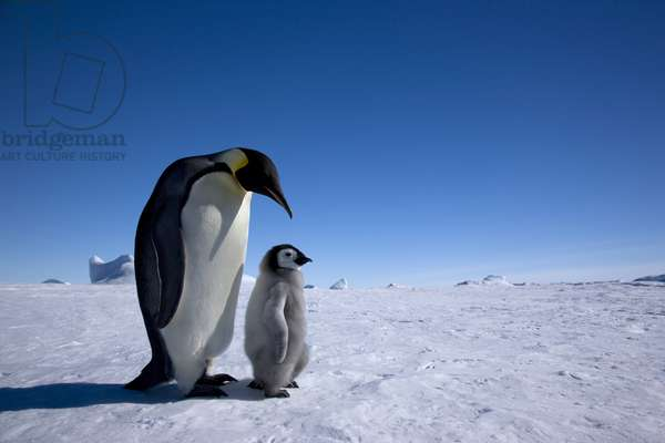 Emperor penguin with a young chick at the rookery (photo)